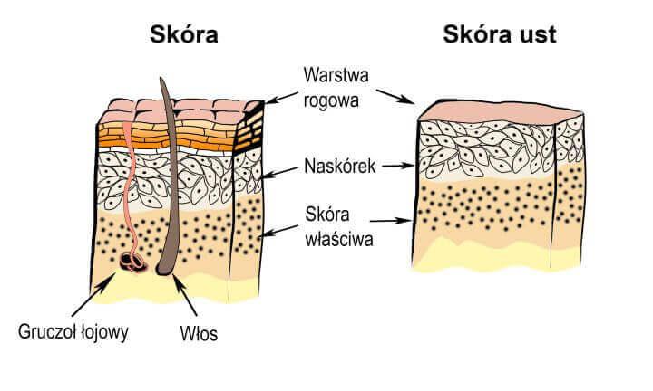 Porównanie skóry normalnej do skóry ust, która ma cieńszą warstwę rogową i nie posiada gruczołów łojowych przez co szybciej się wysusza i pęka